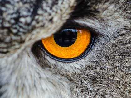 gray owl showing orange and black left eye 148275 2